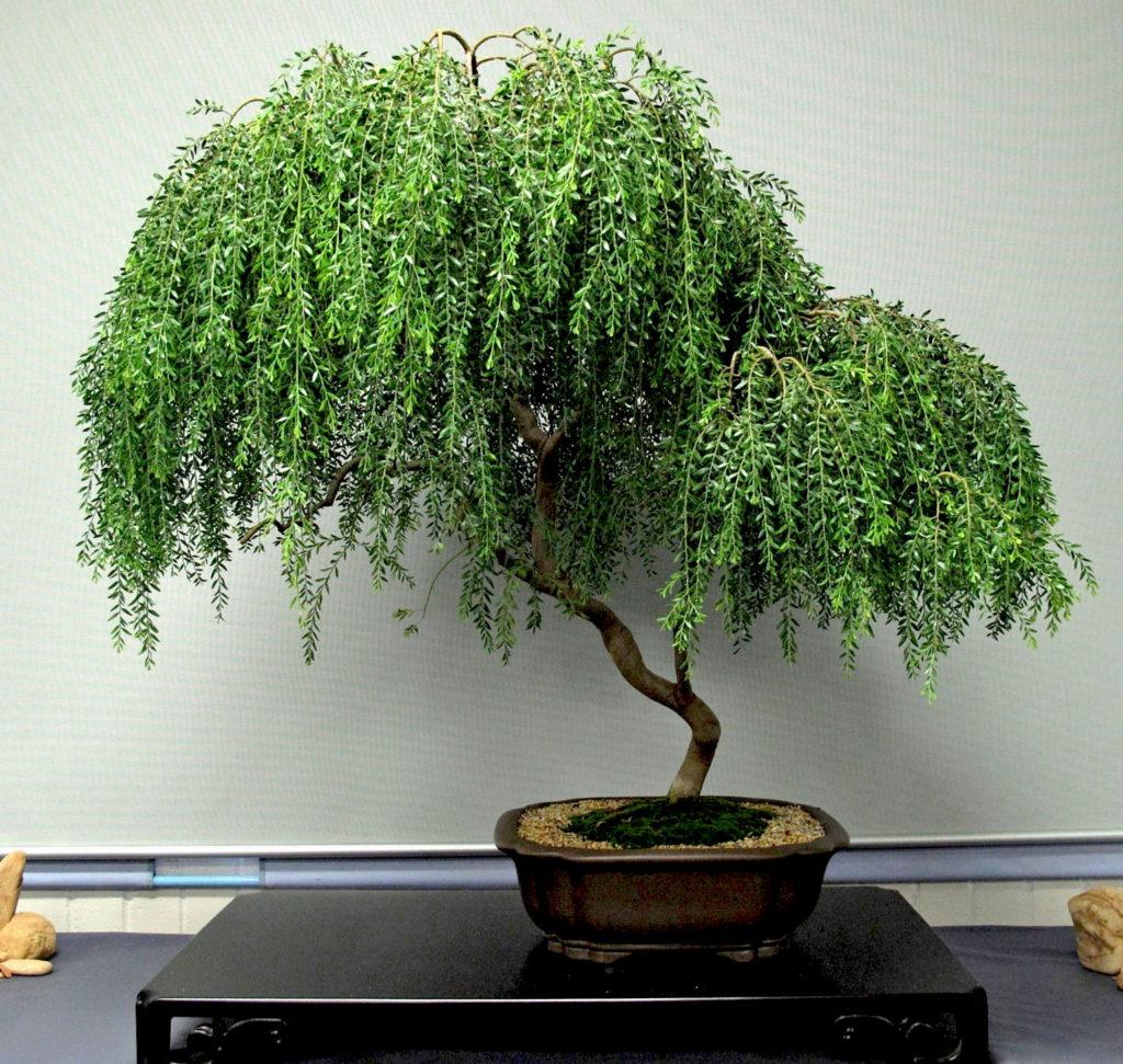 10-Acacia-howittii-large