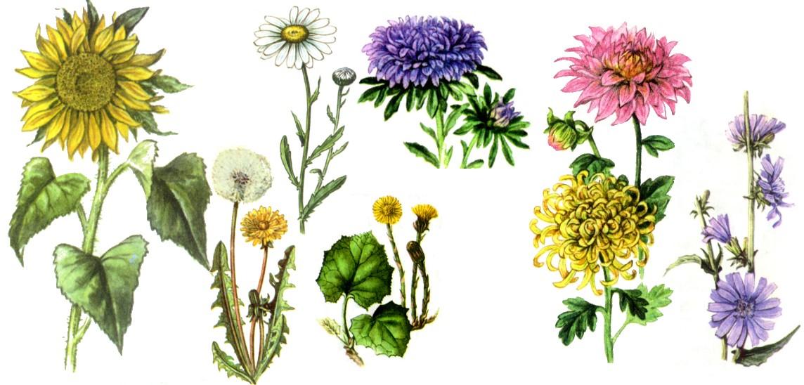 slozhnocvetnye10